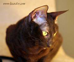 Iriska cat